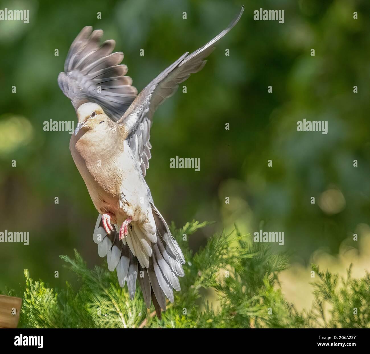 mourning-dove-zenalda-macroura-about-to-