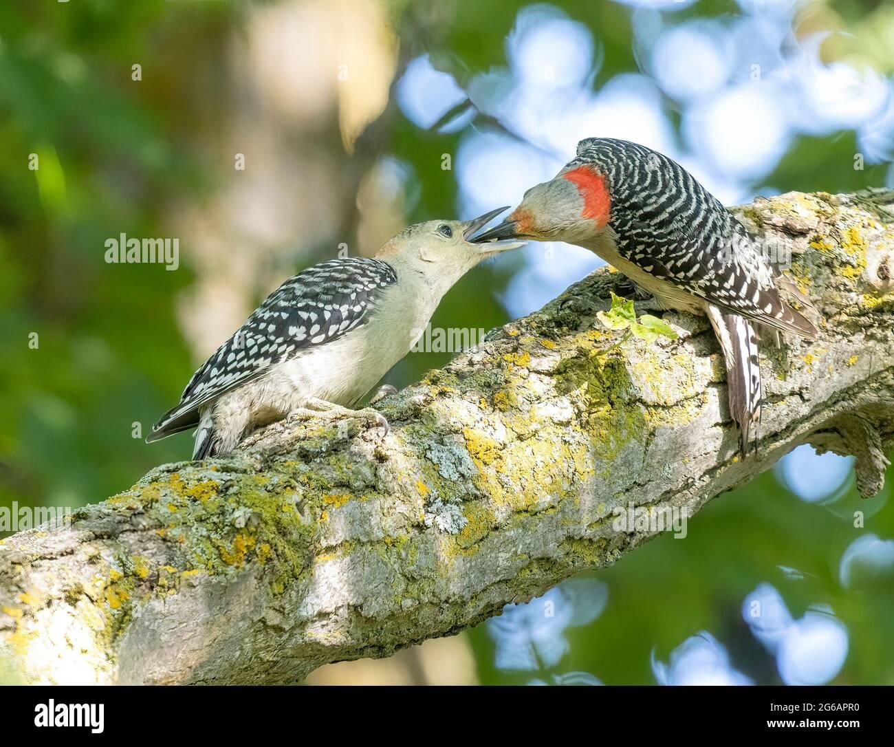 female-mother-red-bellied-woodpecker-mel