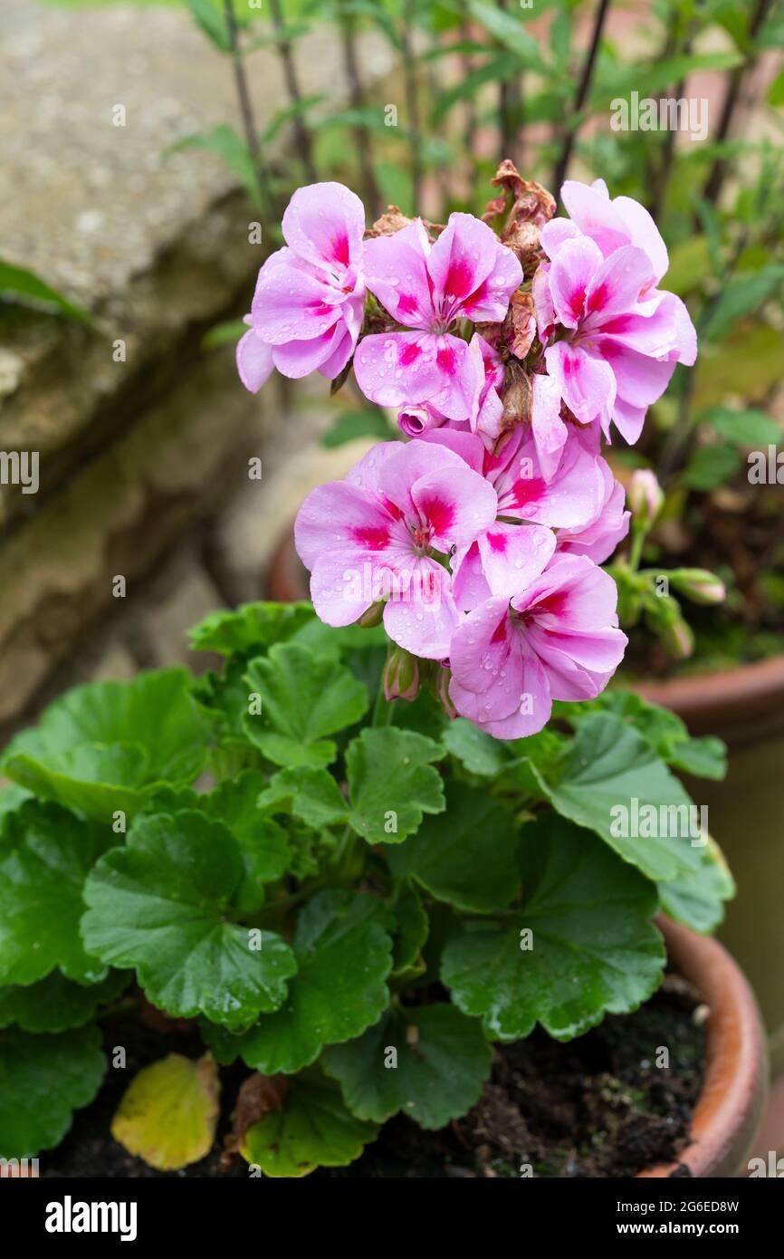 geranium-pelargonium-with-flowers-of-pal