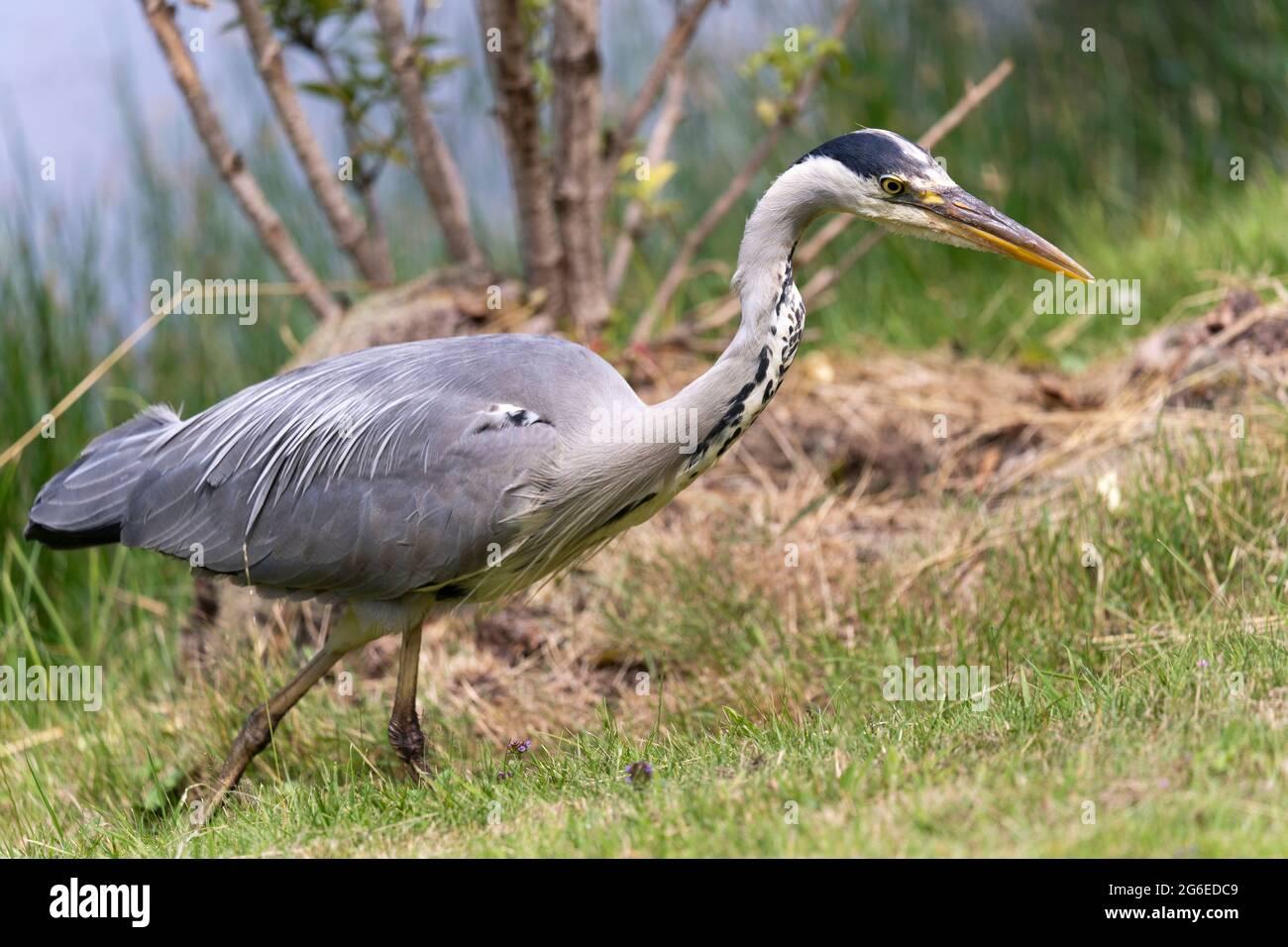 closeup-of-a-grey-heron-ardea-cinerea-fr