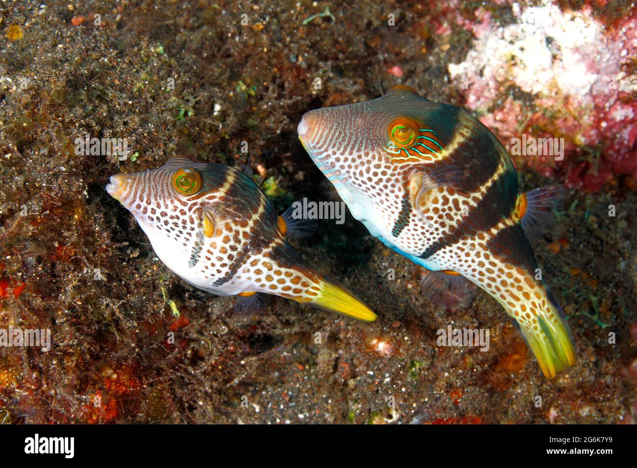 mating-pair-of-black-saddled-or-valentines-pufferfish-or-toby-canthigaster-valentini-smaller-female-on-left-preparing-substrate-to-lay-eggs-2G6K7Y9.jpg
