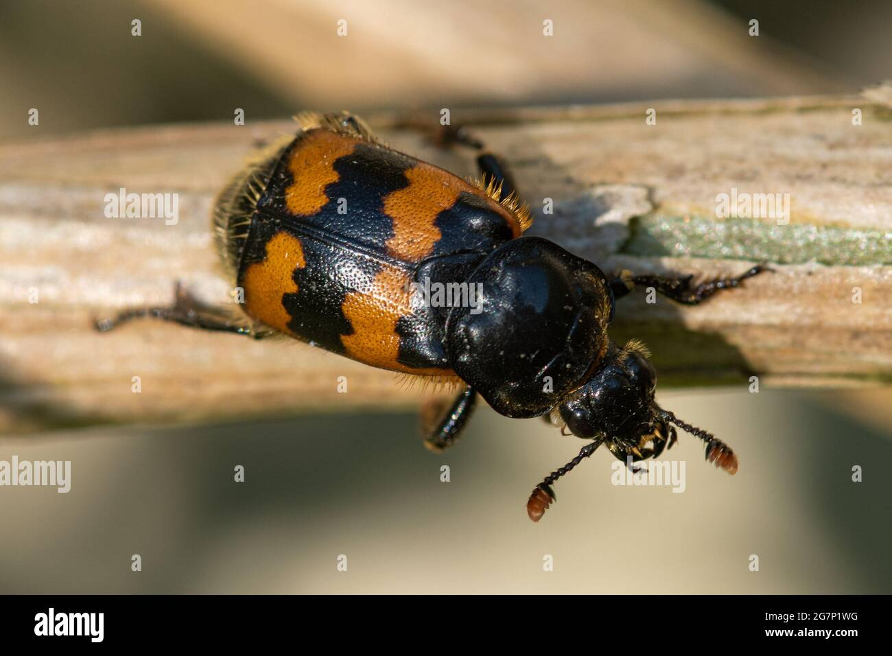 common-sexton-beetle-nicrophorus-vespilloides-a-brightly-coloured-burying-beetle-species-uk-2G7P1WG.jpg