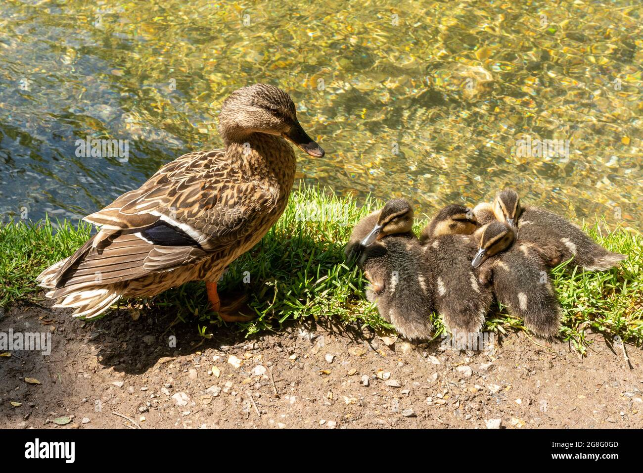 mallard-duck-family-anas-platyrhynchos-female-with-four-young-ducklings-beside-a-river-uk-2G8G0GD.jpg