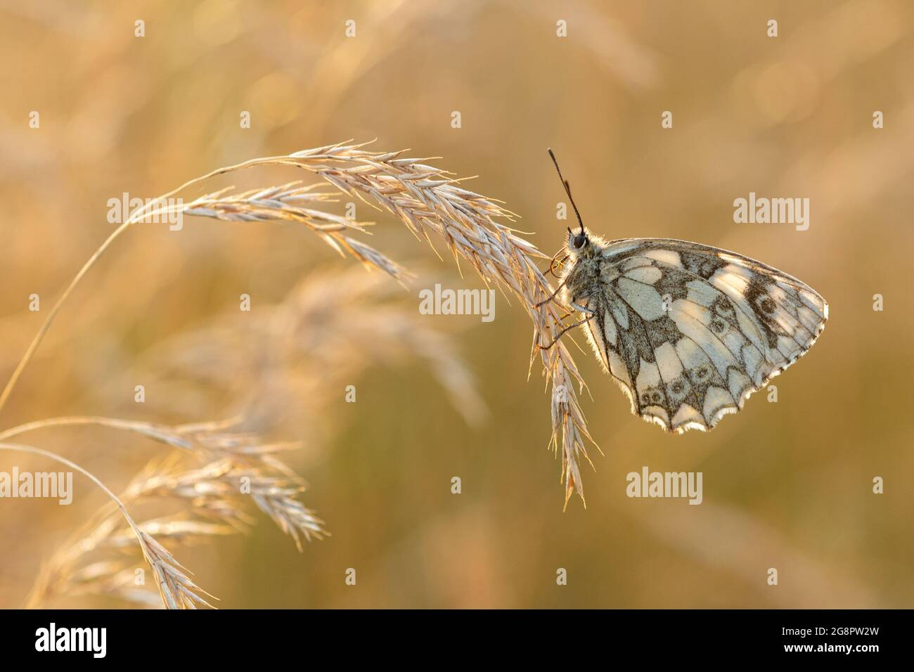 marbled-white-butterfly-melanargia-galathea-roosting-among-grasses-in-warm-evening-light-during-july-or-summer-hampshire-uk-2G8PW2W.jpg