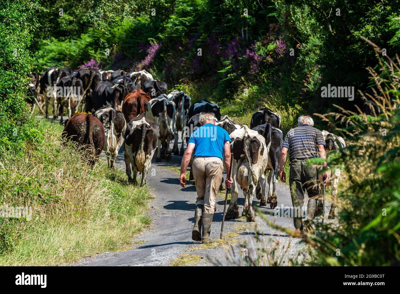drimoleague-west-cork-ireland-25th-july-2021-on-a-hot-and-sunny-day-in-west-cork-dairy-farmer-paul-kingston-moves-his-75-strong-herd-of-dairy-cows-across-the-r586-at-drimoleague-the-good-weather-is-at-an-end-with-met-ireann-forecasting-thunderstorms-over-the-next-few-days-credit-ag-newsalamy-live-news-2G9BC0T.jpg