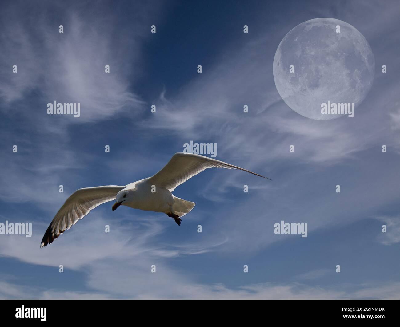 herring-gull-larus-argentatus-gliding-in-front-of-full-moon-with-white-clouds-2G9NMDK.jpg