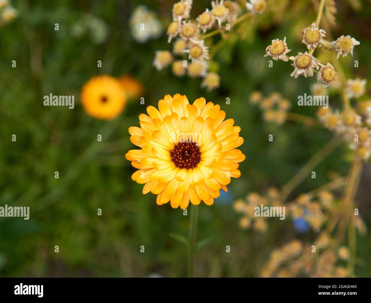 closeup-of-yellow-flower-blooming-in-summer-2GAGHA0.jpg