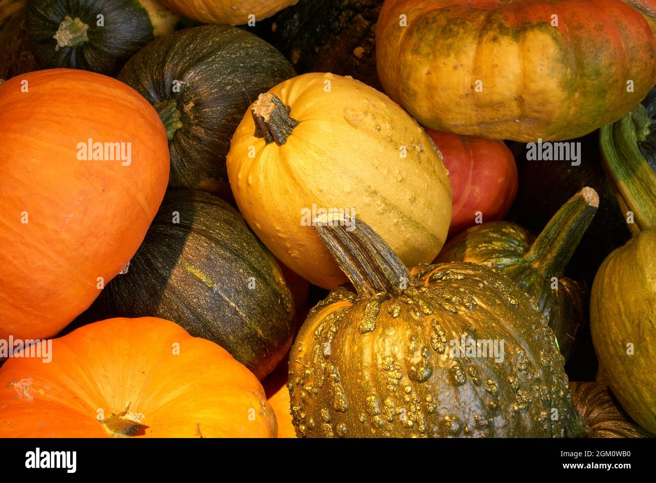 closeup-of-a-pile-of-pumpkins-of-various-types-sizes-and-colors-2GM0WB0.jpg