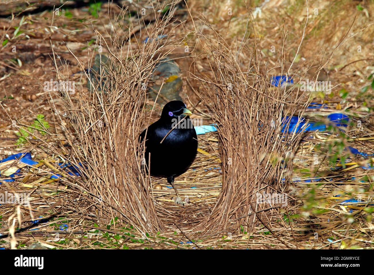 male-satin-bowerbird-ptilonorhynchus-violaceus-building-his-bower-these-birds-use-a-bower-made-of-sticks-decorated-with-blue-and-yellow-objects-2GMRYCE.jpg