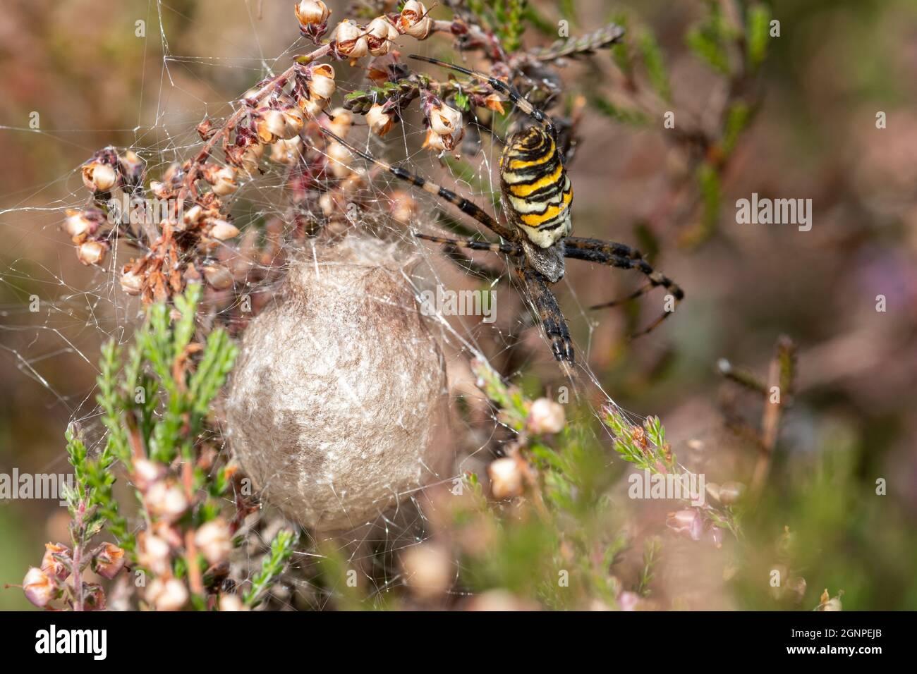 female-wasp-spider-argiope-bruennichi-guarding-her-egg-sac-among-heather-hampshire-heathland-during-september-uk-2GNPEJB.jpg