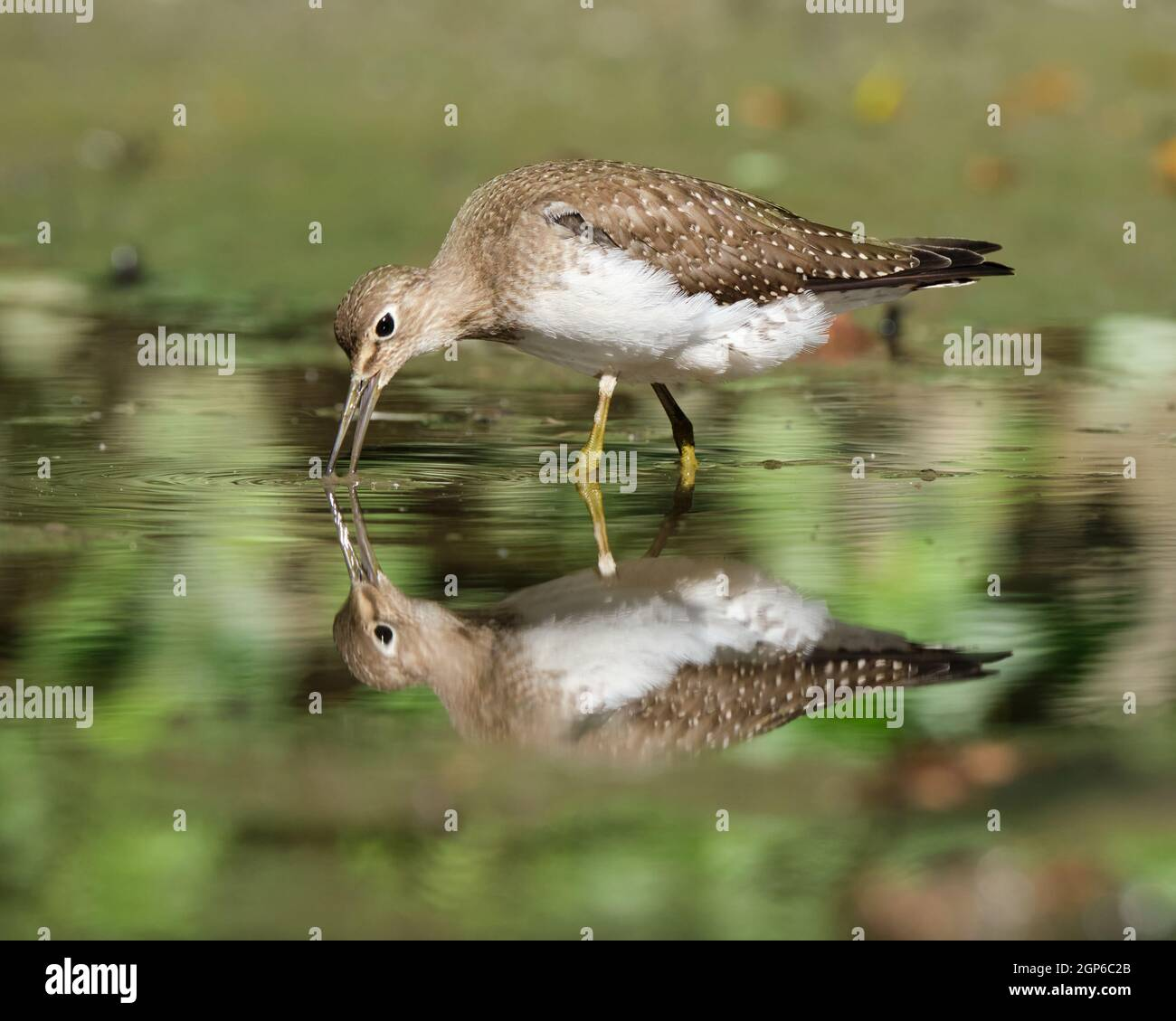 a-solitary-sandpiper-tringa-solitaria-looking-around-for-food-in-a-small-pond-beak-open-touching-water-with-reflection-2GP6C2B.jpg
