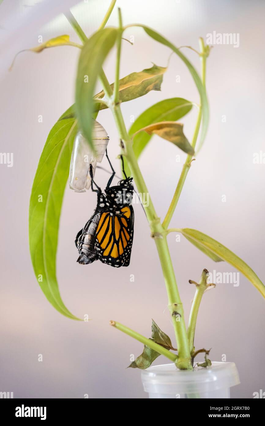 a-captive-hand-raised-monarch-butterfly-