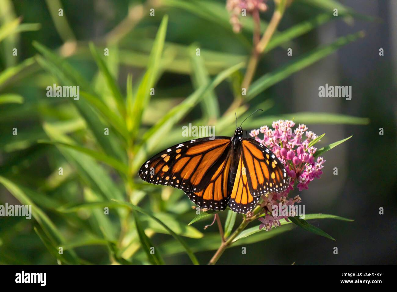 newly-emerged-monarch-butterfly-danaus-p