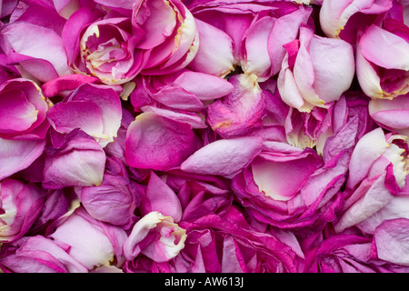 Rose petals - Stock Image