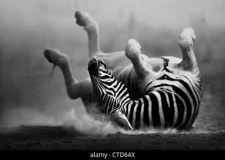 Zebra rolling on dusty white sand  (Artistic Processing) Etosha National Park - Namibia - Stock Image