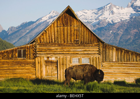 American Bison, Buffalo (Bison bison) adult in front of old wooden Barn and grand teton range, Antelope Flat, Grand - Stock Image