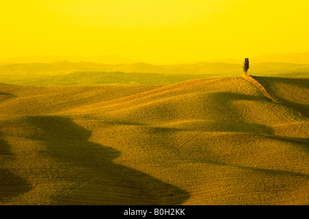 lonely cypress tree in hill typical tuscan landscape - Stock Image