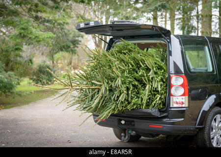 Large christmas tree in open boot of car - Stock Image