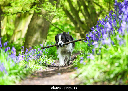 Target Wood, Stoke on Trent, Staffordshire, UK. 21st May 2015. UK Weather: Molly the Border Collie cross enjoying - Stock Image