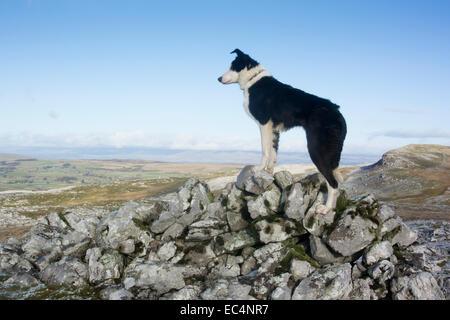 Border Collie sheep dog on rocky moorland, Cumbria, UK - Stock Image