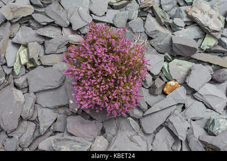 Heather growing in slate quarry close up, North Wales UK - Stock Image