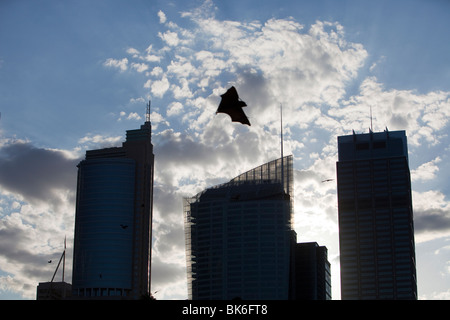Fruit bats flying in front of Sydney city centre tower blocks, Australia. - Stock Image