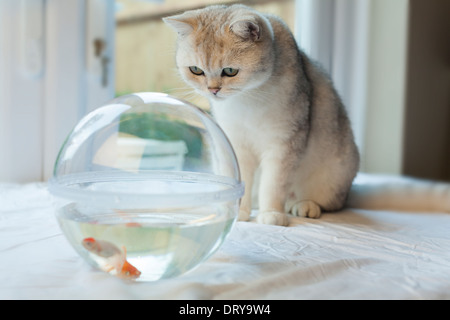 White cat mesmerized by goldfish in a fish tank - Stock Image