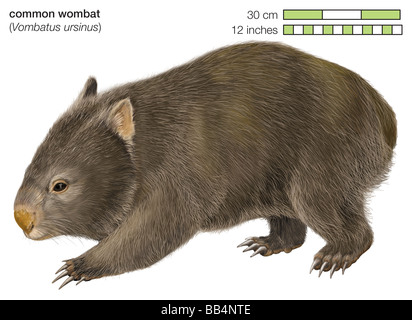 Common wombat (Vombatus ursinus) - Stock Image