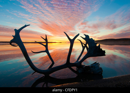 Caribou antler (Rangifer tarandus) and autumn sunrise, Barrenlands, central Northwest Territories, Arctic Canada - Stock Image