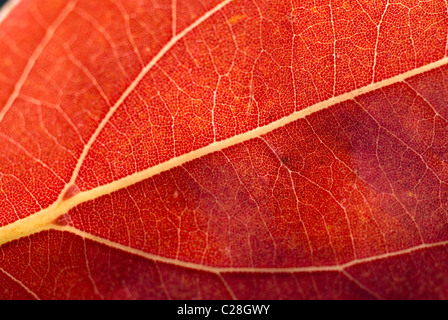 Autumn leaf, leaf veins, orange leaf - Stock Image