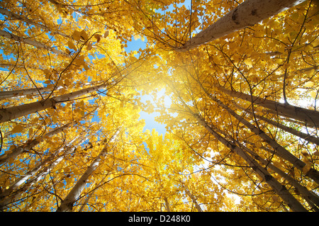 Upward view of Fall Aspen Trees , Leh District in the state of Jammu and Kashmir, India. - Stock Image