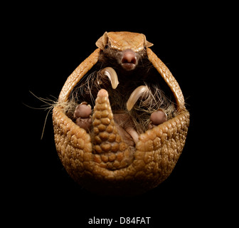 Three banded armadillo isolated on black background. - Stock Image