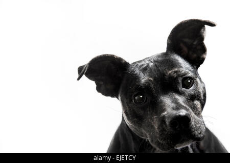 Black Terrier Pit Bull Mix Dog Portrait White Background - Stock Image
