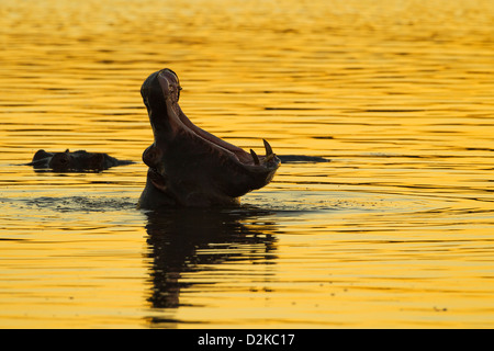 Silhouette of a hippopotamus yawning in the golden evening light - Stock Image