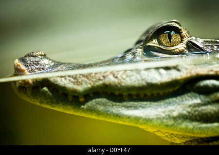 Caiman crocodilus - Stock Image