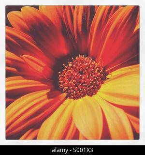 Orange Gerbera - Stock Image