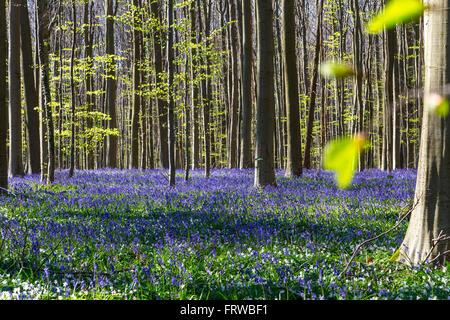 Bluebells, Tranendal (Teardrop Valley) in Hallerbos, Belgium - Stock Image