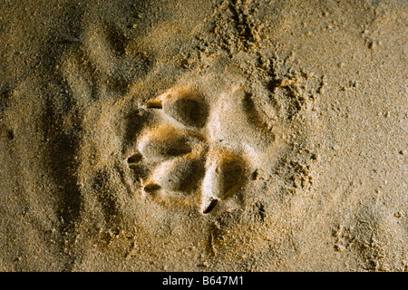 Finland, Kuhmo, Petola Visitor Center. Information about Finland's largest carnivores and preditors. Footprint - Stock Image