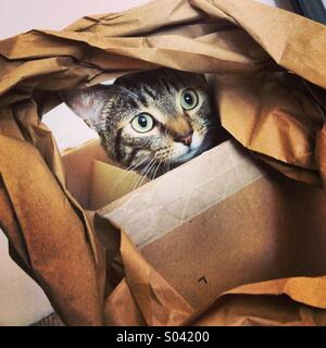 Tabby cat kitten plaing with paper in cardboard box. - Stock Image