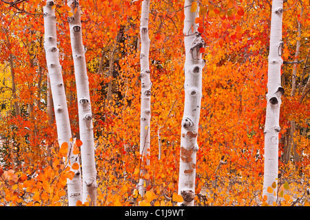 Fresh snow on fall aspens along Bishop Creek, Inyo National Forest, Sierra Nevada Mountains, California USA - Stock Image