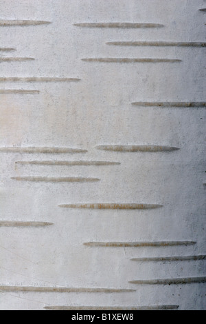 Bark of white Himalayan birch (Betula utilis) - Stock Image