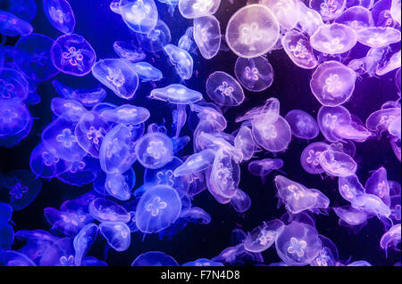 school of Jelly fish in aquarium with blue light - Stock Image