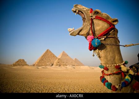 Camel at the Pyramids, Giza, Cairo, Egypt - Stock Image