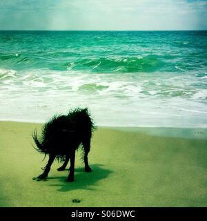 A black labradoodle dog shakin off water at the beach. Ventura California USA. - Stock Image