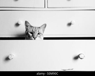 Cat hiding in some empty dresser drawers. - Stock Image