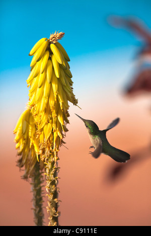 The Netherlands, Oranjestad, Sint Eustatius Island, Dutch Caribbean. Antillean Crested Hummingbird. Female. - Stock Image
