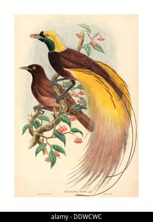 John Gould and W. Hart (British, 1804 - 1881 ), Bird of Paradise (Paradisea apoda), published 1875 1888, hand colored lithograph - Stock Image