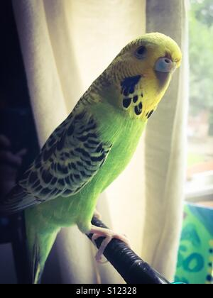 A green and yellow pet budgie. - Stock Image