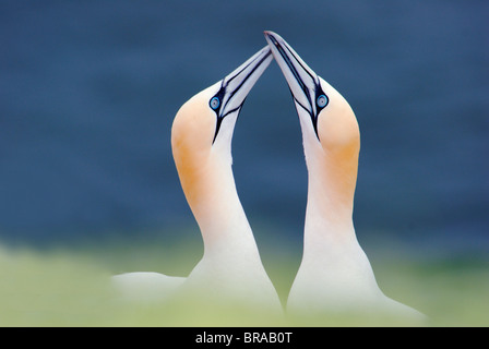 Northern gannet (Sula / Morus bassana) pair courtship, Heligoland, Germany - Stock Image
