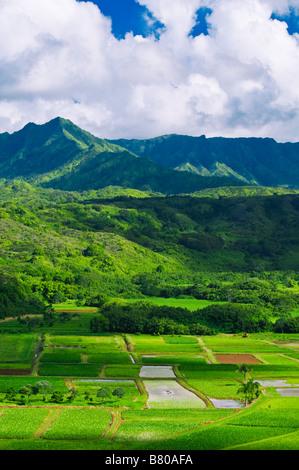 Taro fields in Hanalei Valley Island of Kauai Hawaii - Stock Image